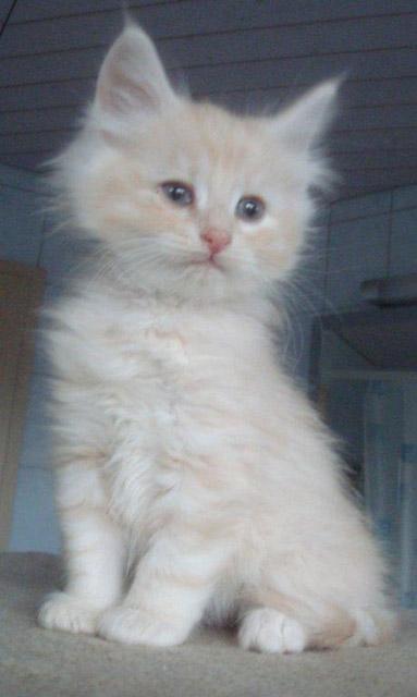 Zeno vom Schiltwald reinrassige Norwegische Waldkatze