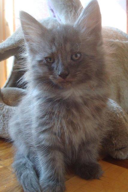 Amos vom Schiltwald reinrassige Norwegische Waldkatze