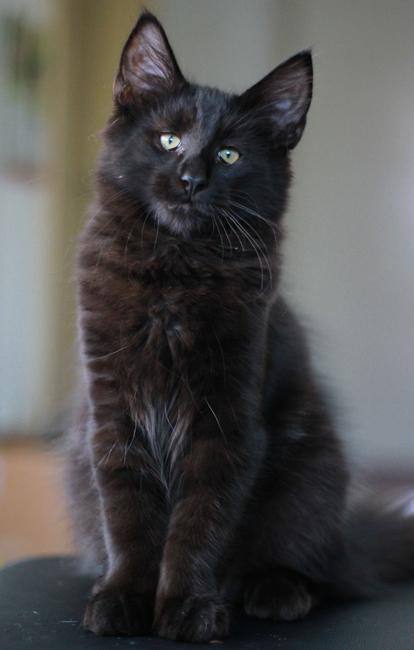 Dargan vom Schiltwald reinrassige Norwegische Waldkatze