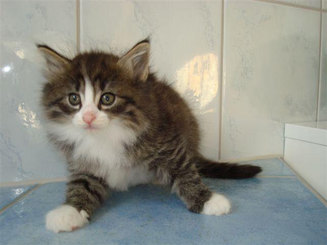 Rosalie vom Schiltwald reinrassige Norwegische Waldkatze