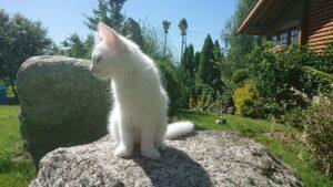 Gaya vom Schiltwald Norwegische Waldkatze